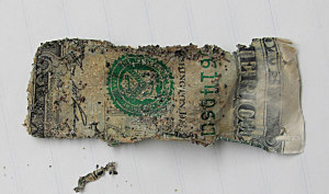 Fig. 6 Section of one dollar bill buried in sand filled jar for 33 months.